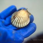 93-1898-29 scallop shell pocomo